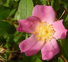 Pink Wild Rose 2 by Jefferson Danley