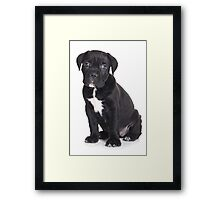 Black Cane Corso puppy Framed Print