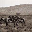 Zebra threesome, 2009 by Sarah Mackie