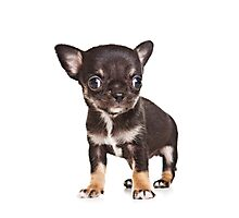 BROWN Chihuahua puppy Photographic Print