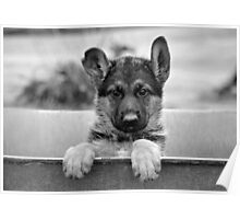 German Shepherd Puppy Poster