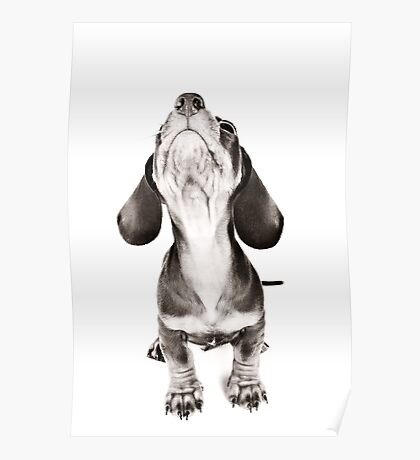 Funny dachshund with a big nose Poster