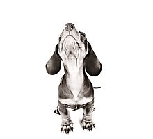 Funny dachshund with a big nose Photographic Print