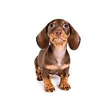 Brown dachshund puppy Photographic Print