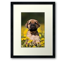 Cute Puppy mastiff Framed Print