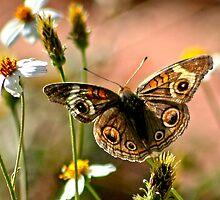 Buckeye Butterfly by Arla M. Ruggles