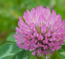 Red Clover by Jefferson Danley