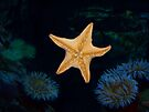 Sea Star and the Anemones by Ron Hannah