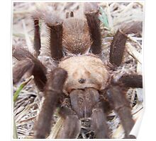 brown trantula close up Poster