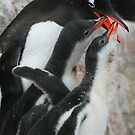 Gentoo feeding 2 chicks by parischris