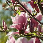Afternoon Magnolia by Ann Douthat