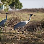 birds #102, wandering & wondering, brolga by stickelsimages