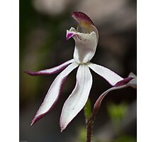 Stegostyla gracilis Musky Caladenia Orchid Christmas Hills 20091005 2754 Photographic Print
