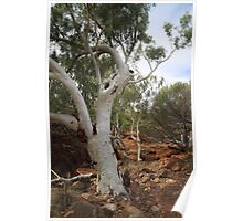 Old Gum Tree Poster