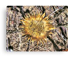 Dry Thistle Canvas Print