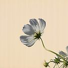 Flower in the light by Leslie  Hagen