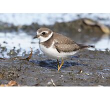 Semipalmated Plover 01 Photographic Print