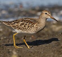 The Pectoral Sandpiper 01 by DigitallyStill