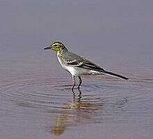 Citrine Wagtail  by David Clark