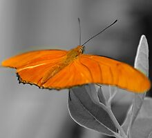 Farfalla....californiana by Bru66