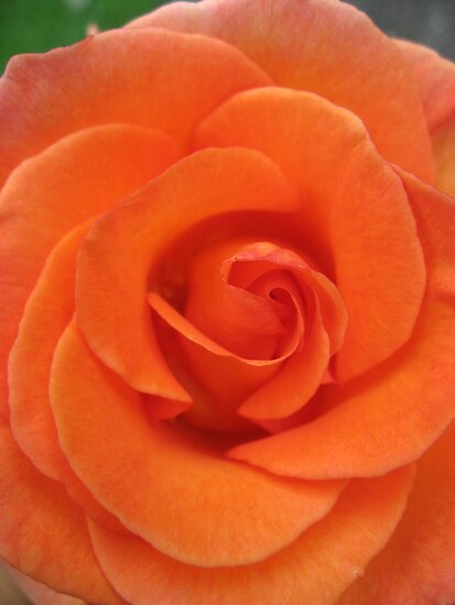 Peach Rose by Orla Cahill Photography