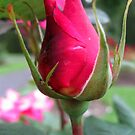 Rose Bud no.8 by Orla Cahill Photography