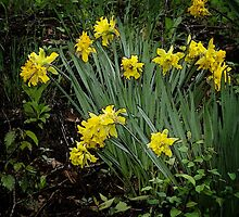 Daffodils of days gone by by vigor