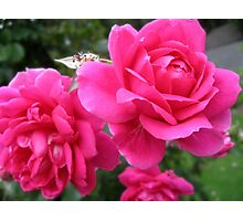 Roses Pink Photographic Print