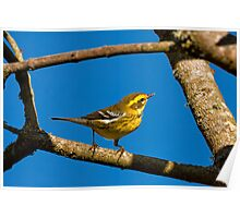 TOWNSEND'S WARBLER Poster