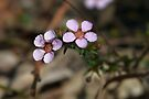 Euromyrtus ramosissima (Rosy Heath-Myrtle) by Robert Elliott