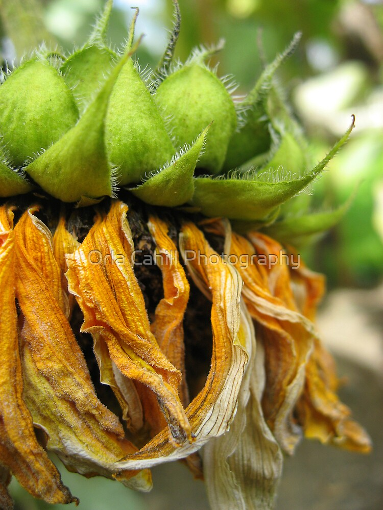 Withered Sunflower no.3 by Orla Cahill Photography