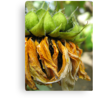 Withered Sunflower no.3 Canvas Print