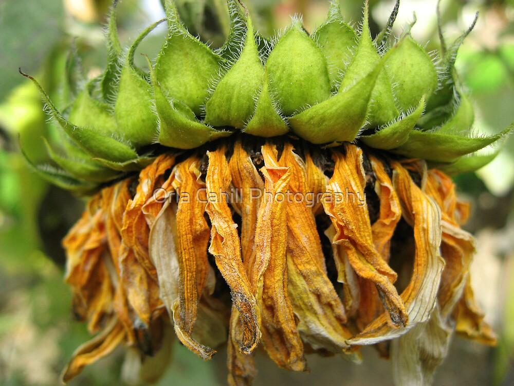 Withered Sunflower no.4 by Orla Cahill Photography