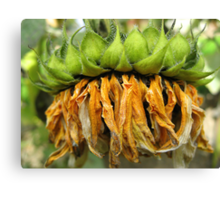 Withered Sunflower no.4 Canvas Print