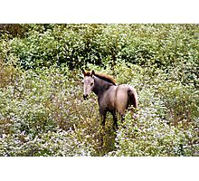 Colt Playing in the Wild Flowers! Photographic Print