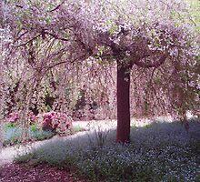 Weeping Cherry Blossom Yengo Mt Wilson by heidiypi1