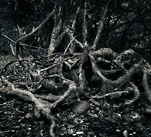 Tree roots, Thunderbolt's Lookout - Barrington State Forest by ozzzywoman