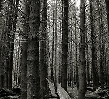 Pine Forest, Barrington State Forest NSW by ozzzywoman