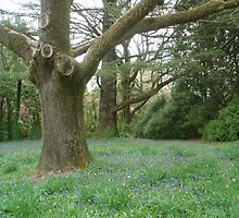 Three Grand Tree in a Row, Yengo, Mt Wilson by heidiypi1