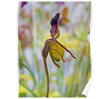 Flying duck Orchid Poster