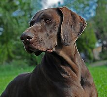 The German Shorthaired Pointers of DogzOnline by DOLGSPLovers