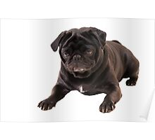Funny Sleeping Black Pug Poster