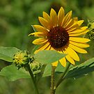 Sunflower by Mary Carol Story
