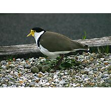 Plover with eggs Photographic Print