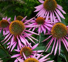 Coneflower in Color by Works By  Barbara