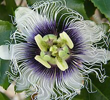 Passion  Flower  by jack01