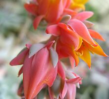 Cactus Flower by Orla Cahill Photography