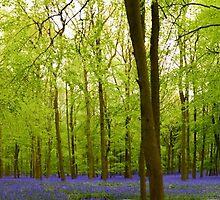 Amazing Bluebell Wood - Panorama by InterestingImag