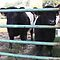 Lookie Loos Belted Cows by Jonathan  Green