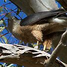 coopers hawk by RichImage